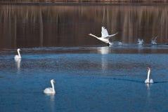 друзья приземляясь белизна лебедя Стоковое Изображение RF