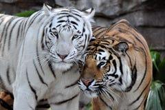 Друзья тигра Стоковые Изображения