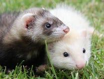 друзья ferret Стоковая Фотография RF