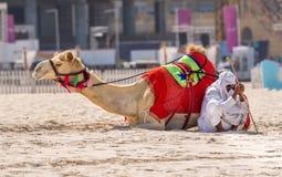 ДУБАЙ, ОАЭ - 11-ОЕ ОКТЯБРЯ: Бедуин с верблюдами на пляже на Jum Стоковое фото RF
