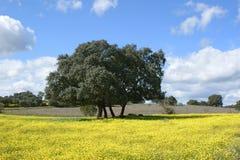 Дубы на желтых цветках с пасмурной предпосылкой голубого неба Стоковое фото RF