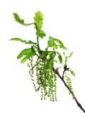 дуб ветви Стоковое Изображение RF