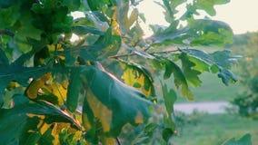 Дуб выходит конец-вверх на ветви дерева в лес против предпосылки захода солнца видеоматериал