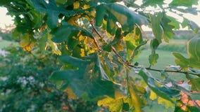 Дуб выходит конец-вверх на ветви дерева в лес против предпосылки захода солнца акции видеоматериалы