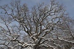 Дуб в зиме Стоковая Фотография
