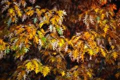Дуб в осени с темной предпосылкой стоковое фото
