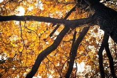 Дуб в осени Стоковое фото RF