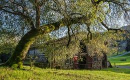 Дуб в реальном маштабе времени затеняет сельский покинутый амбар Стоковое Фото