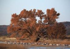 Дуб в реальном маштабе времени золотого дерева с кранами Sandhill стоковое изображение