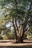 Дуб в реальном маштабе времени побережья, высокорослый здоровый прибрежный вечнозеленый дуб, лес в южной Калифорнии, вертикальной стоковое фото