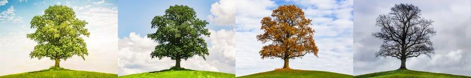 Дуб в 4 сезонах стоковая фотография rf