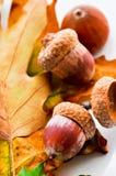 Дуб листает ковер с жолудями Стоковые Изображения