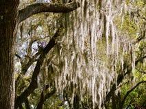 Дуб и испанский мох Стоковое фото RF