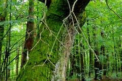 дуб 100 лет дуба покрытого мхом В середине леса Стоковое Изображение RF