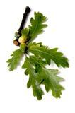 дуб листьев жолудей стоковые фото