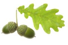 дуб листьев жолудя Стоковые Изображения RF