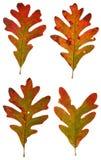 дуб листьев осени стоковое изображение rf