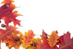 дуб листьев рамки жолудей Стоковая Фотография RF