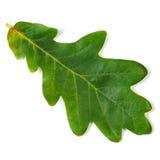 дуб листьев стоковое фото rf