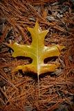 дуб листьев Стоковые Изображения RF