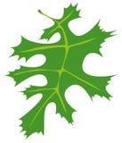 Дуб лист Стоковые Изображения