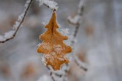 Дуб наймов выходит в лист дуба снега в снеге стоковые изображения rf