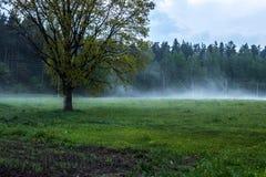 Дуб около леса стоковое фото