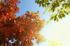Дуб осени красный покидает предпосылка Стоковое Изображение