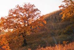 Дуб осени на горном склоне Стоковые Фото