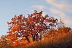 Дуб осени на горном склоне Стоковая Фотография