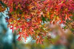 дуб осени цветастый Стоковое Изображение RF
