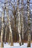 Дуб растя среди берез в парке города Москвы Зима стоковые фотографии rf
