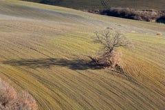 дуб солитарный Стоковые Фото