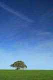 дуб солитарный Стоковое Изображение RF