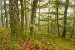 Дуб словака и лес бука в тумане Стоковая Фотография