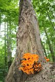 Дуб с оранжевым грибком тыквы стоковые фотографии rf