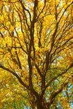 Дуб с яркими желтыми листьями Золотистая осень Ландшафт дерева осени Стоковое Изображение RF