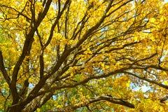 Дуб с яркими желтыми листьями Золотистая осень Ландшафт дерева осени Стоковое Фото