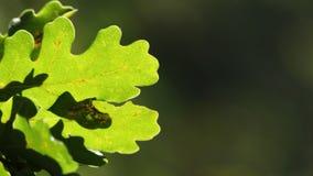 Дуб, хворостина лист дуба, листья дуба весны свежие зеленые, листва дуба на запачканной зеленой предпосылке стоковые изображения