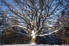 Дуб-дерево в древесине зимы Стоковые Изображения