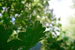 Дуб Bur (macrocarpa Quercus) выходит в лето Стоковые Изображения RF