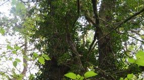 Дуб Duir Gort плюща взбираясь стоковая фотография rf