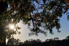 Дуб Lit Солнця стоковое изображение