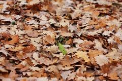 дуб s листьев травы лезвия Стоковая Фотография