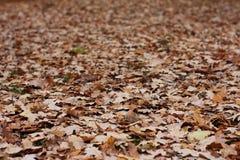 дуб s серии листьев Стоковая Фотография RF