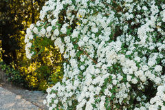 Дуга белых цветков spirea Стоковая Фотография RF