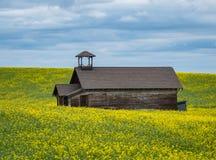 Дуглас выдалбливает школу сидя в поле зацветать канола Стоковое Изображение
