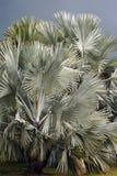 Дуйте пальму, nobilis Bismarckia, в Флориде Стоковое фото RF
