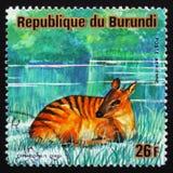 Дукер зебры (зебра), животные Бурунди Cephalophus серии, около Стоковое фото RF
