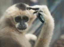 думать обезьяны Стоковая Фотография